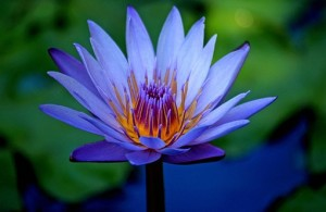 blue lotus flower photo